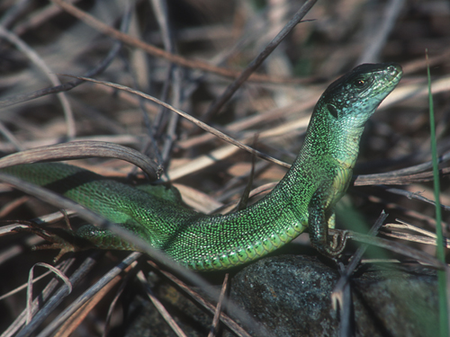 Smaragdeidechse©F.J.Limberger